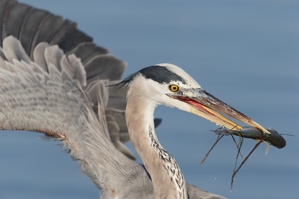 great-blue-heron-w-baby-mullet-baited-_y7o0371-litttle-estero-lagoon-fort-myers-beach-fl