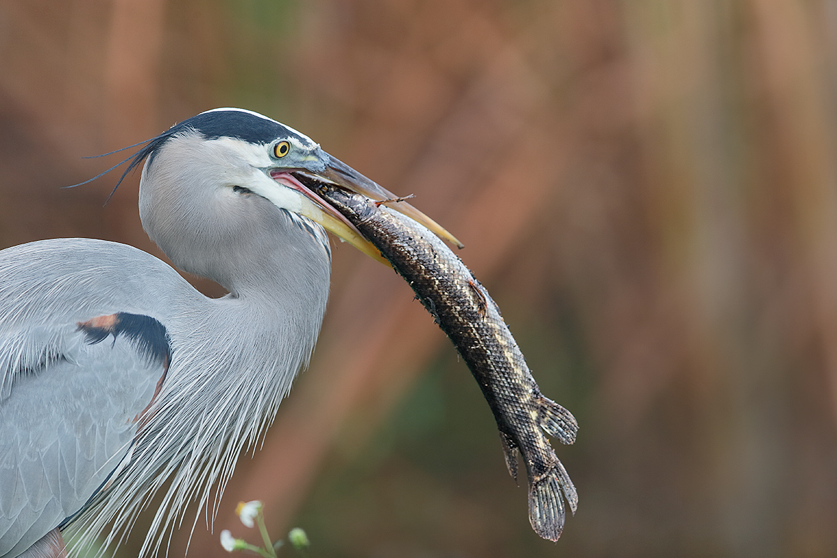 great-blue-heron-with-gar-_y7o0541-anhinga-trail-everglades-national-park-fl