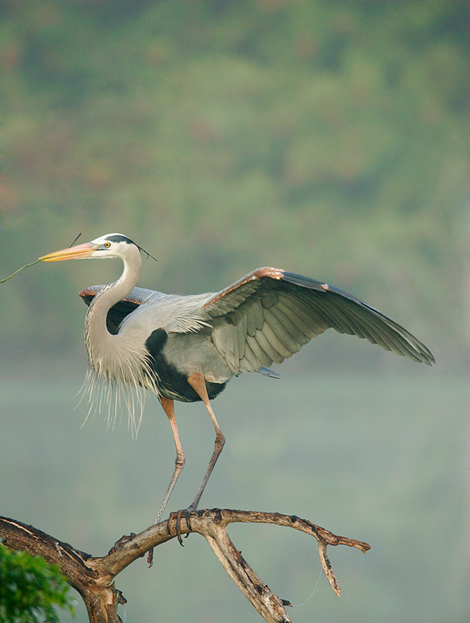 great-blue-heron-with-twig-in-fog-_h2d0369-venice-rookery-south-venice-fl