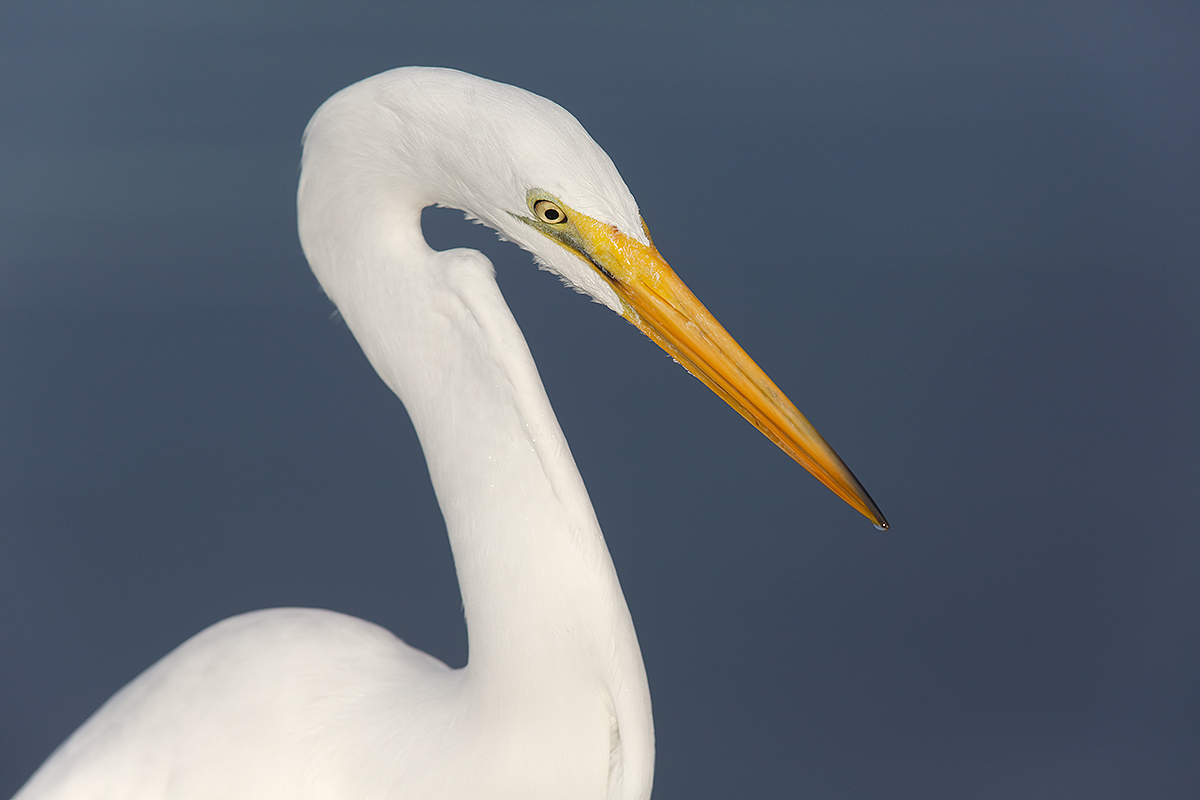 great-egret-angular-head-neck-pose-_a1c0569-litttle-estero-lagoon-fort-myers-beach-fl