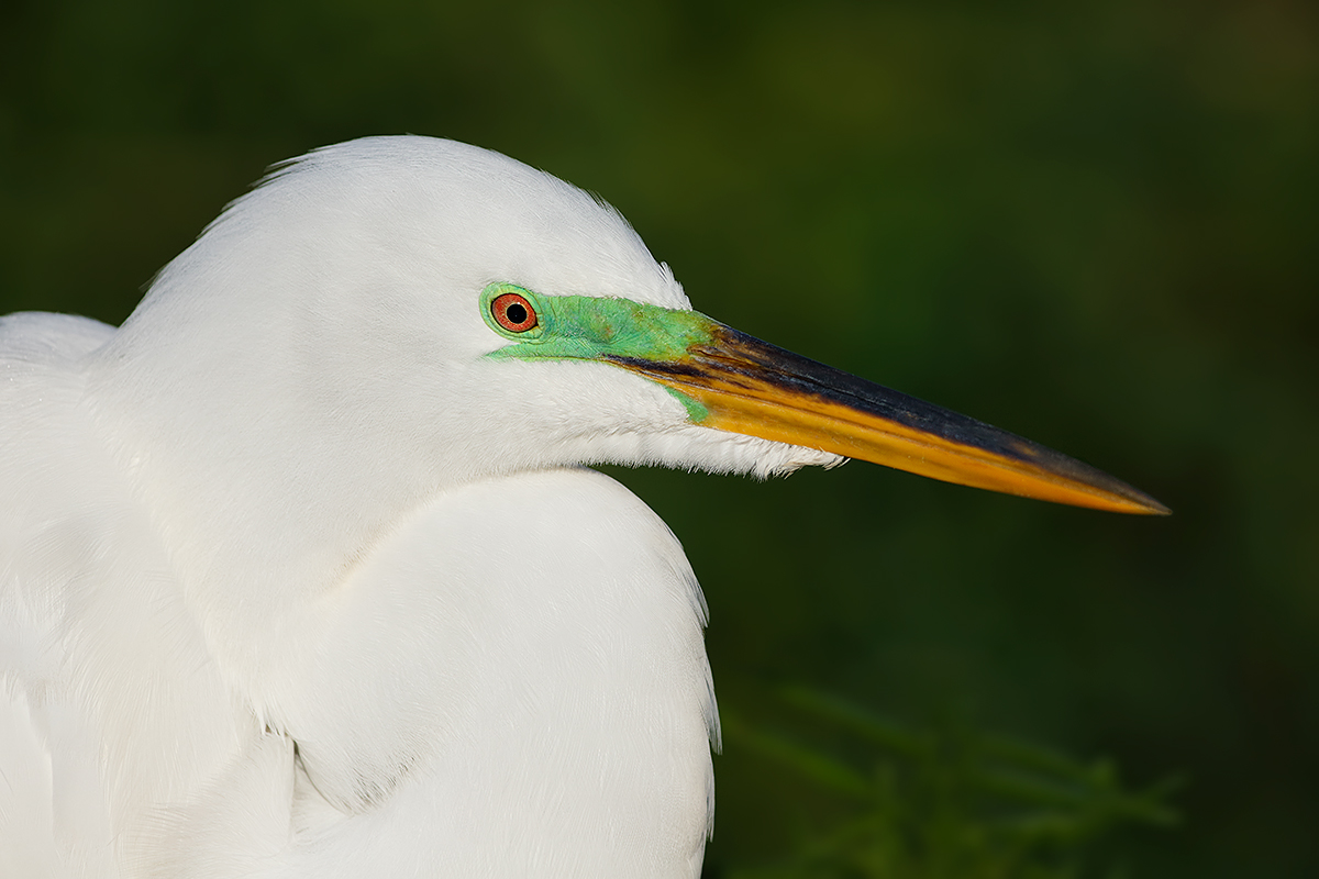 great-egret-breeding-plumage-_a1c9492-gatorland-kissimmee-fl