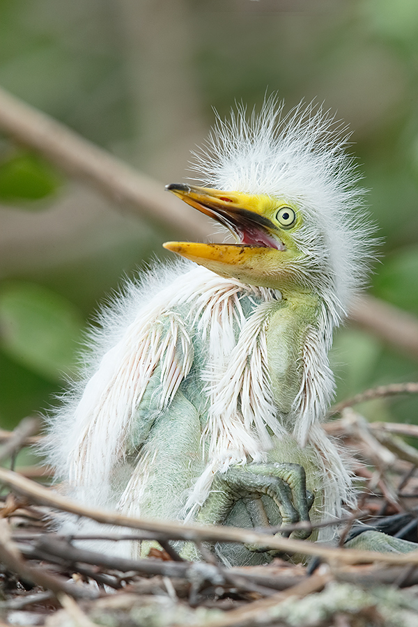 great-egret-chick-in-nest-_y7o2545-gatorland-kissimmee-fl
