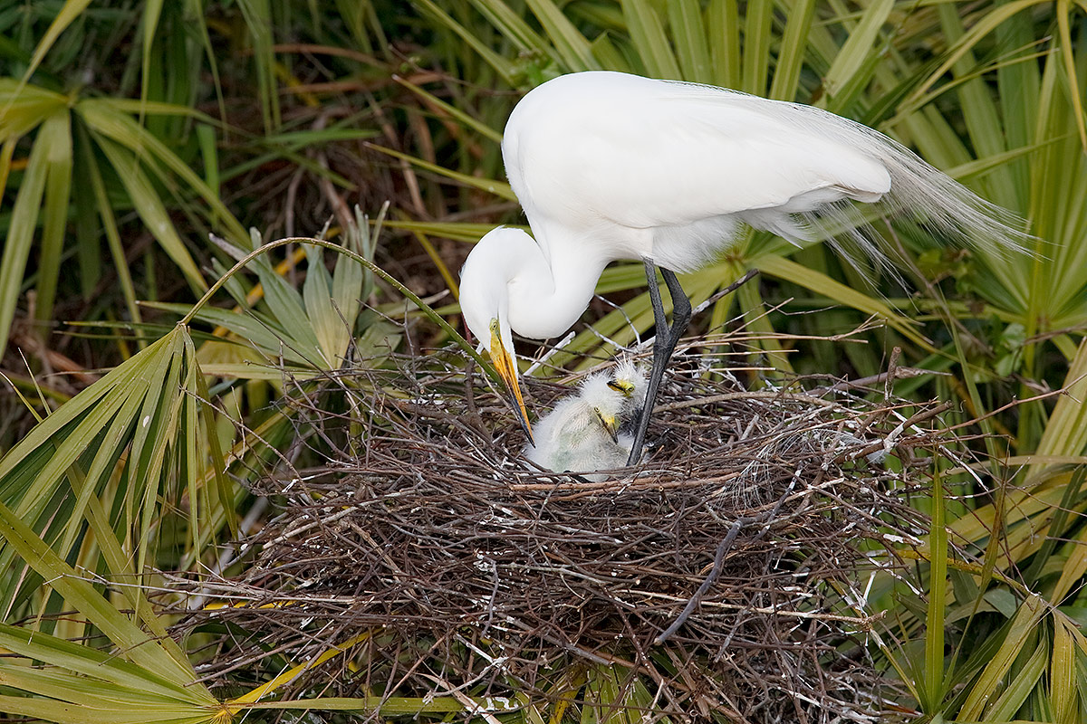 great-egret-chicks-in-nest-with-adult-_a1c0076-gatorland-kissimmee-fl