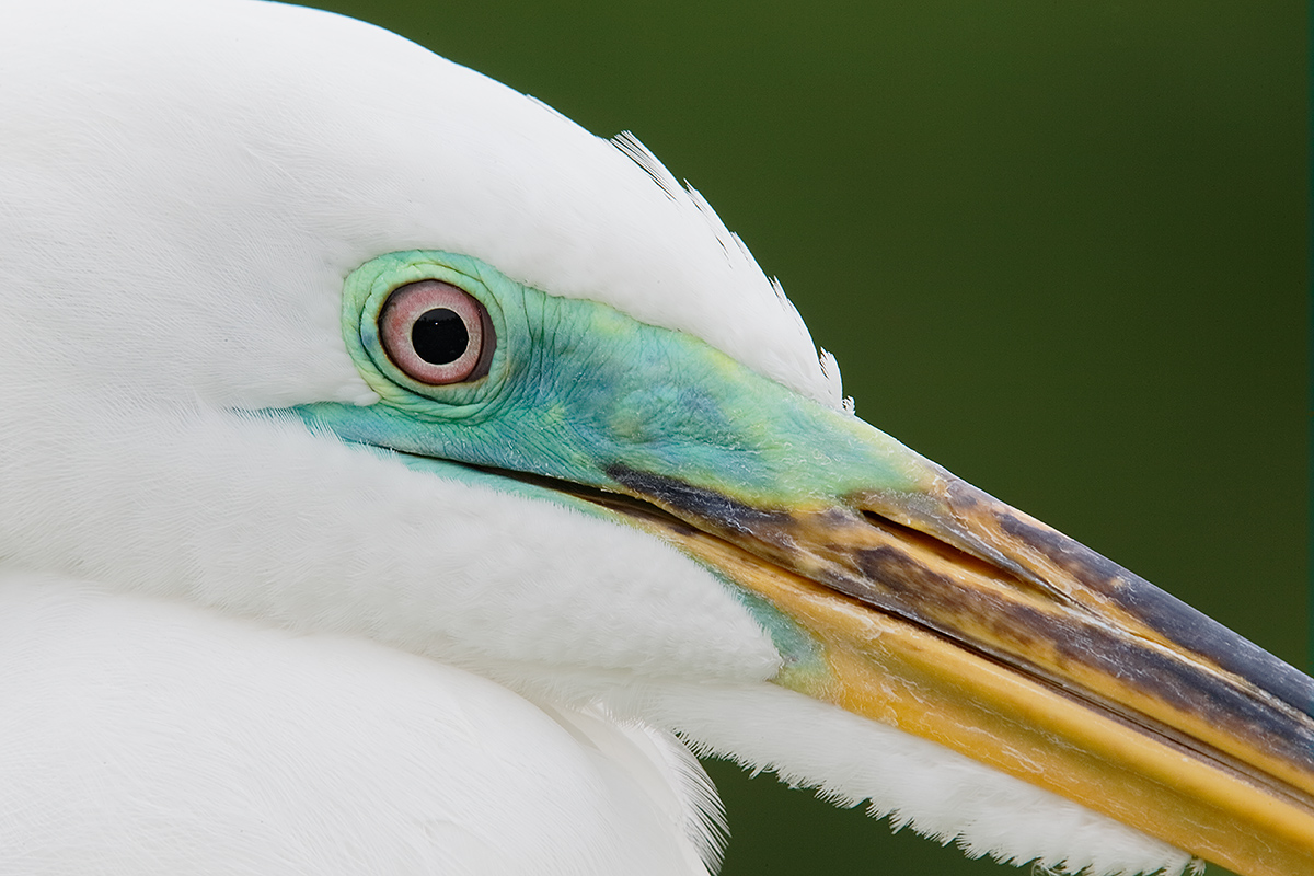 great-egret-face-and-bill-detail-slight-crop-_y5o9800-gatorland-kissimmee-fl