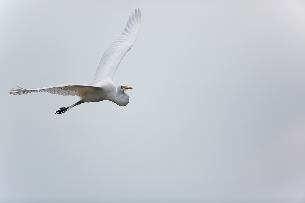 great-egret-flight-_a1c1226-venice-rookery-south-venice-fl