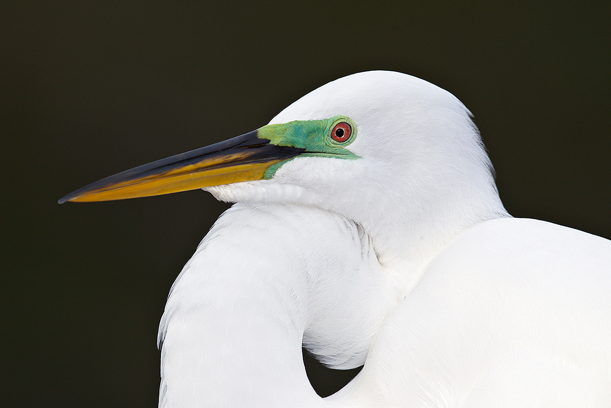 great-egret-head-prime-breeding-plumage-_w3c9279-gatorland-kissimmee-fl