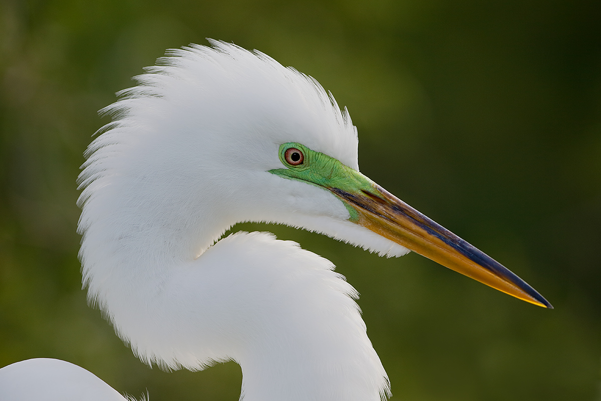 great-egret-head-with-feathers-erect-_y5o0635-gatorland-kissimmee-fl