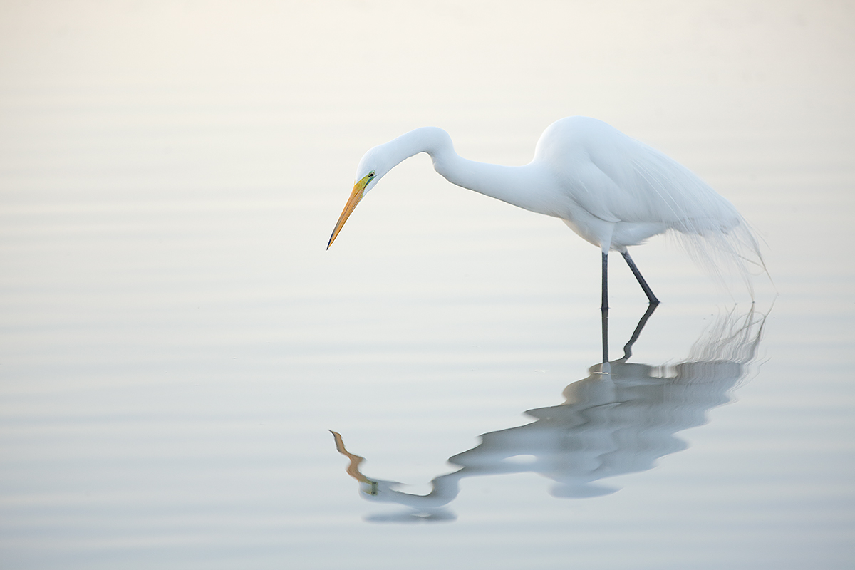great-egret-in-predawn-backlight-_a1c0724-litttle-estero-lagoon-fort-myers-beach-fl