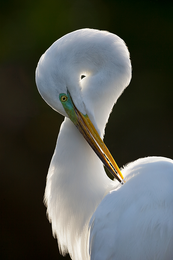 great-egret-preening-backlit-_y7o0917-gatorland-kissimmee-fl
