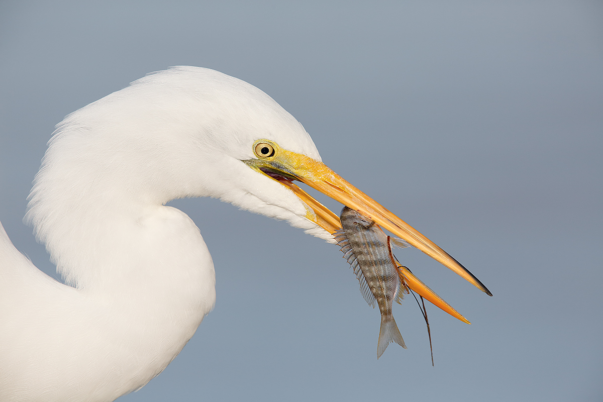 great-egret-w-cast-netted-pinfish-_a1c0593-litttle-estero-lagoon-fort-myers-beach-fl