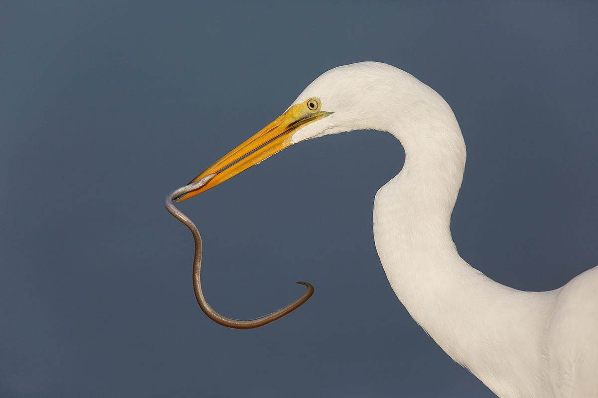 great-egret-w-prey-item-_a1c0544-litttle-estero-lagoon-fort-myers-beach-fl