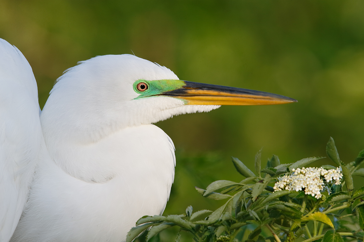 great-egret-with-tiny-white-blossom-_y7o2719-gatorland-kissimmee-fl