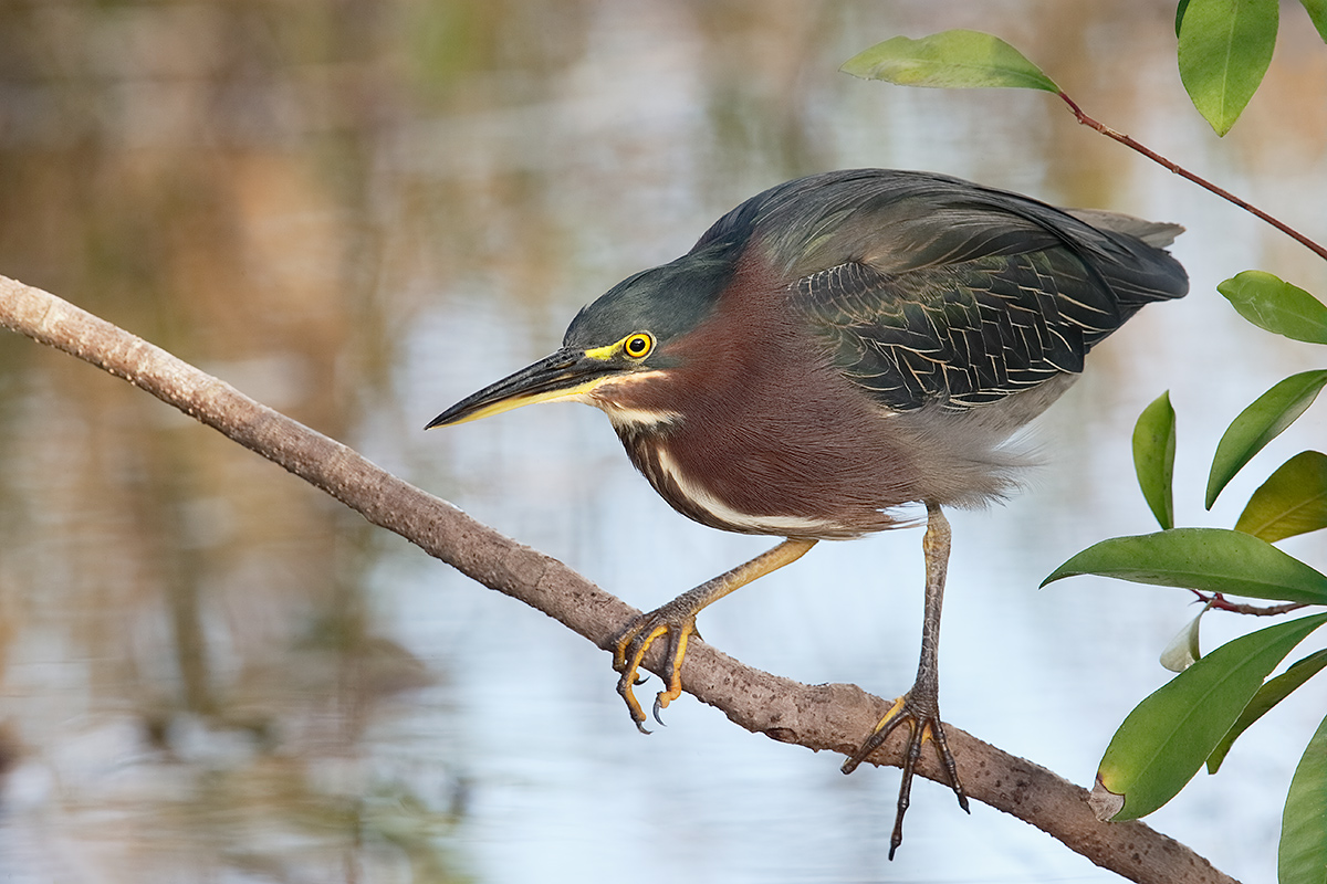 green-heron-fishing-from-branch-low-to-water-_y7o1697-anhinga-trail-everglades-national-park-fl