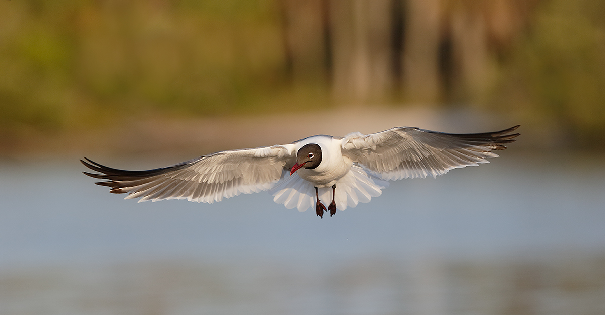laughing-gull-braking-in-flight-_y7o3593-fort-desoto-park-st-petersburg-fl