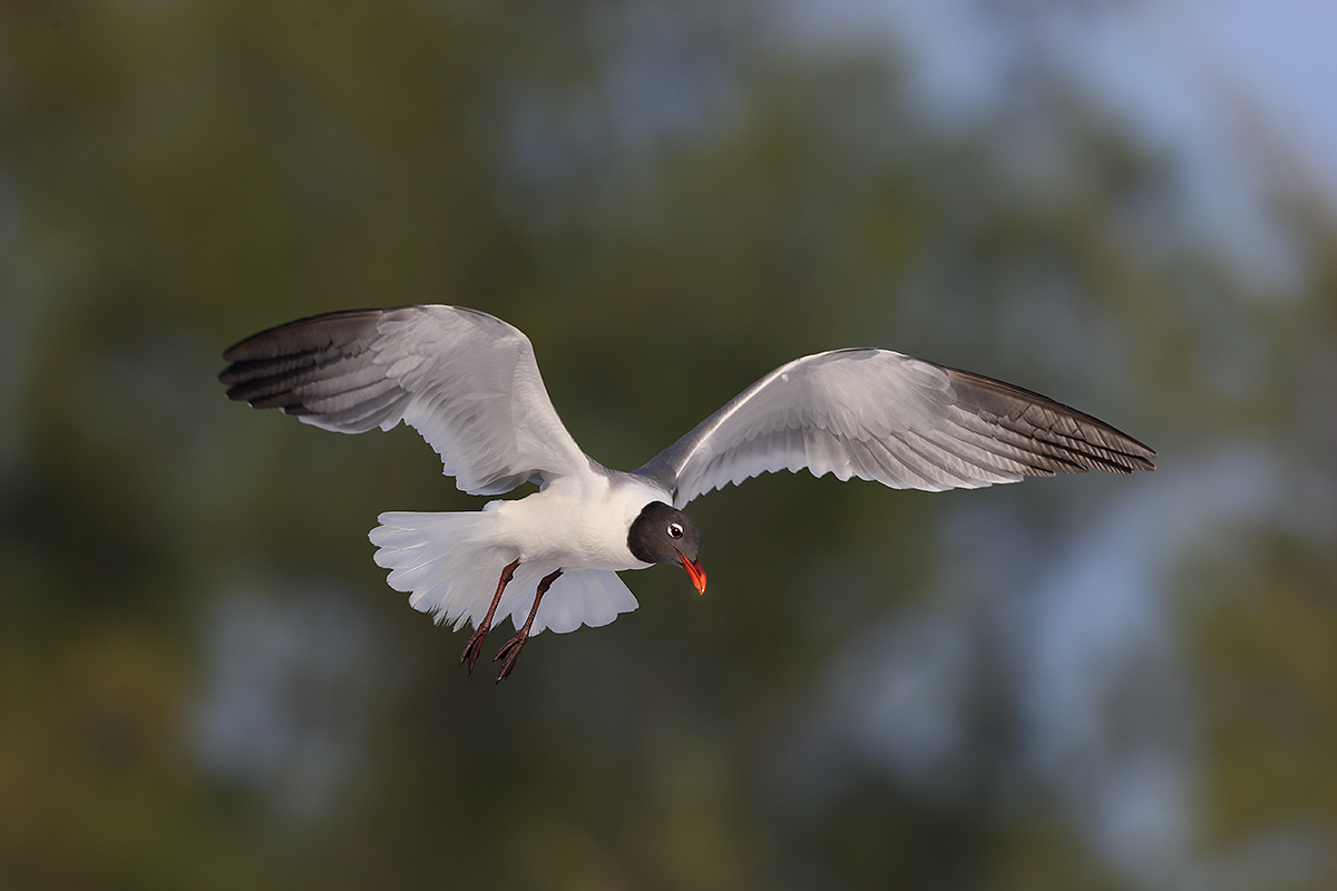 laughing-gull-kiting-_y7o0841-fort-desoto-park-st-petersburg-fl
