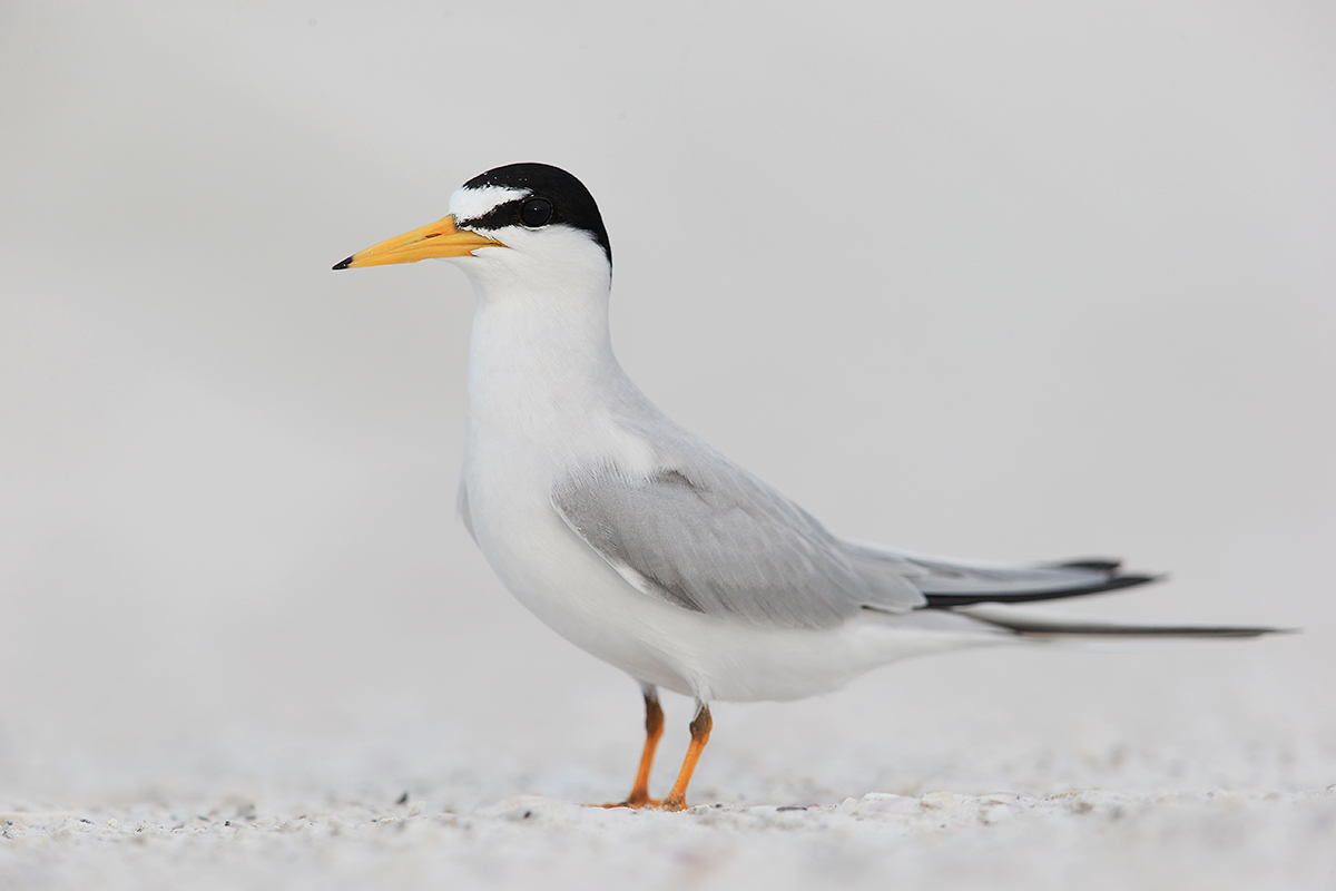 least-tern-near-nest-_y7o1892-fort-desoto-park-st-petersburg-fl