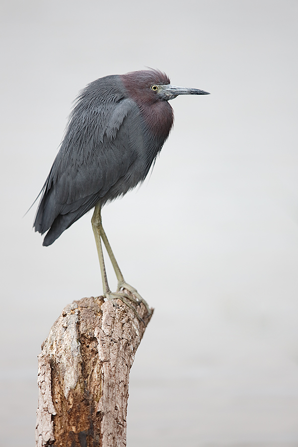 little-blue-heron-vertical-predawn-this-one-_a1c0896-venice-rookery-south-venice-fl