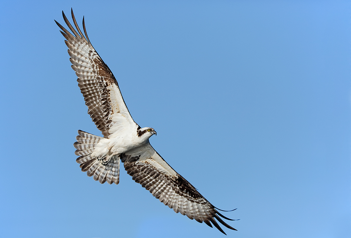 osprey-in-flight-wings-fully-spread-a-_a1c9623-lake-blue-cyrpess-indian-river-county-fl