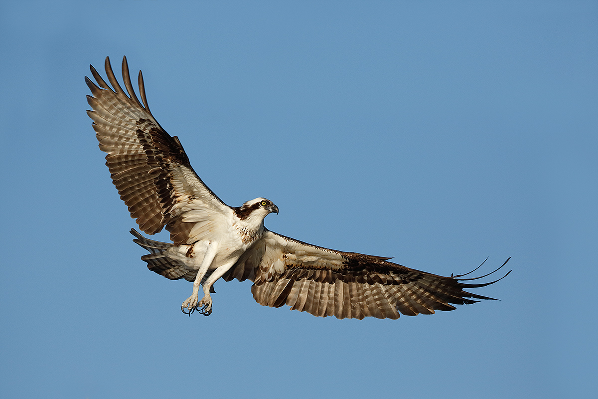 osprey-landing-3-wing-tips-repaired-_a1c9590-lake-blue-cyrpess-indian-river-county-fl