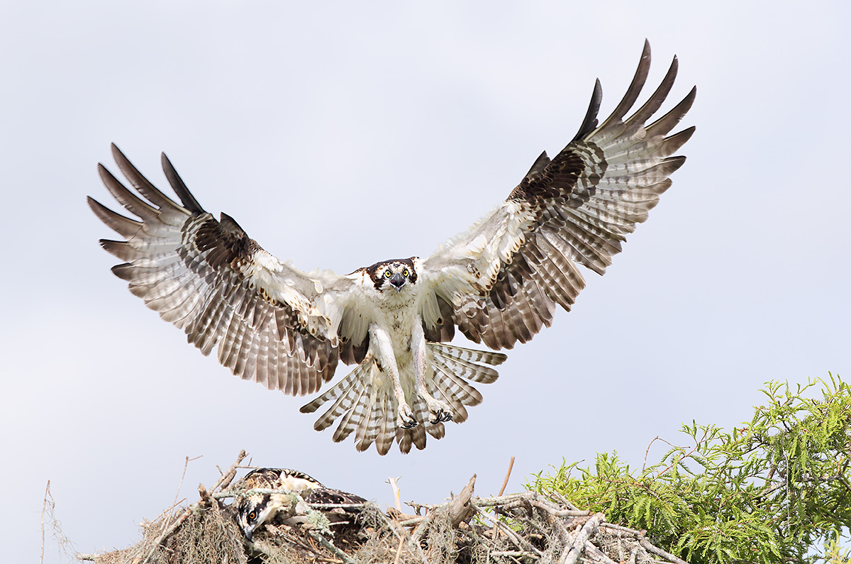 osprey-landing-at-nest-with-1-large-chick-resting-_y5o2214-lake-blue-cypress-indian-river-county-fl