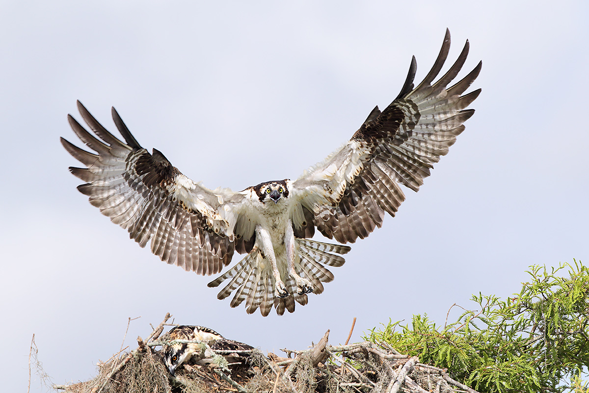 osprey-landing-at-nest-with-1-large-chick-resting-_y5o2214-lake-blue-cypress-indian-river-county-fl_0