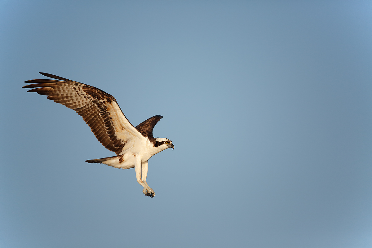 osprey-landing-early-morning-light-_a1c9537-lake-blue-cyrpess-indian-river-county-fl
