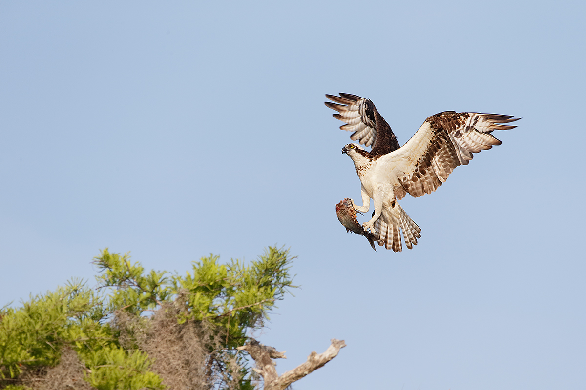 osprey-landing-with-fish-_y5o1003-lake-blue-cyrpess-indian-river-county-fl