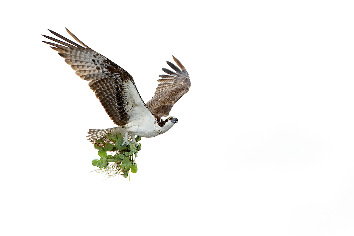osprey-w-nesting-material-iso-1600-less-contrast-_y7o3551-lake-blue-cyrpess-indian-river-county-fl