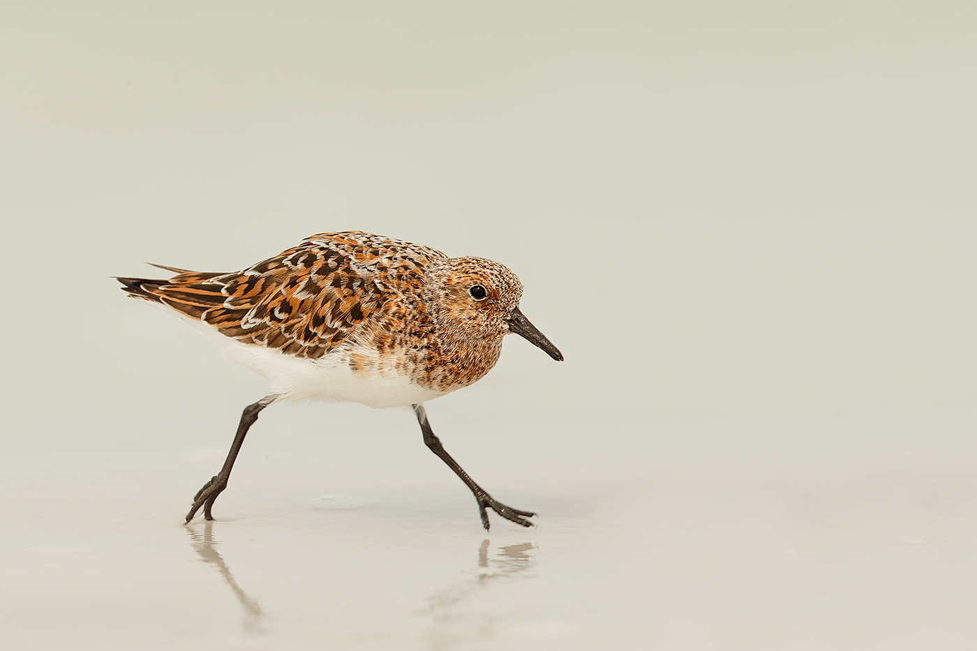 sanderling-breeding-plumage-running-bird-moved-back-in-frame-_y7o2777-fort-desoto-park-st-petersburg-fl