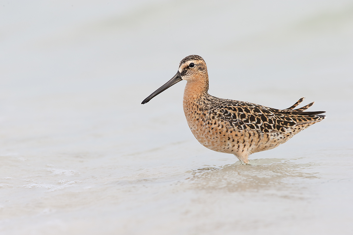 short-billed-dowitcher-breding-plumage-_y7o2336-fort-desoto-park-st-petersburg-fl