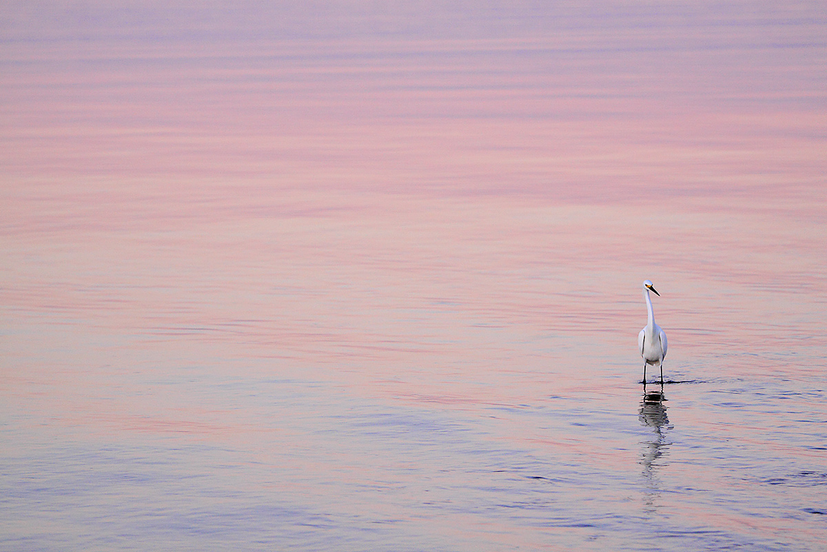 snowy-egret-in-pink-purple-earth-shadow-reflections-_mg_9703-little-estero-lagoon-ft-myers-beach-flc