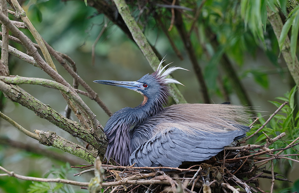 tricolored-heron-nest-protection-threat-display-_y5o0196-gatorland-kissimmee-fl