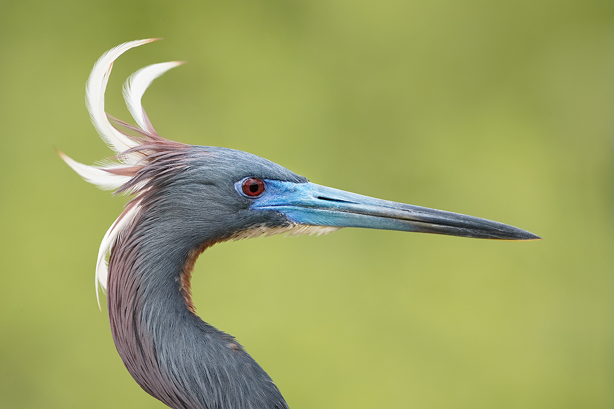 tricolored-heron-with-plumes-blowing-_y5o0055-gatorland-kissimmee-fl