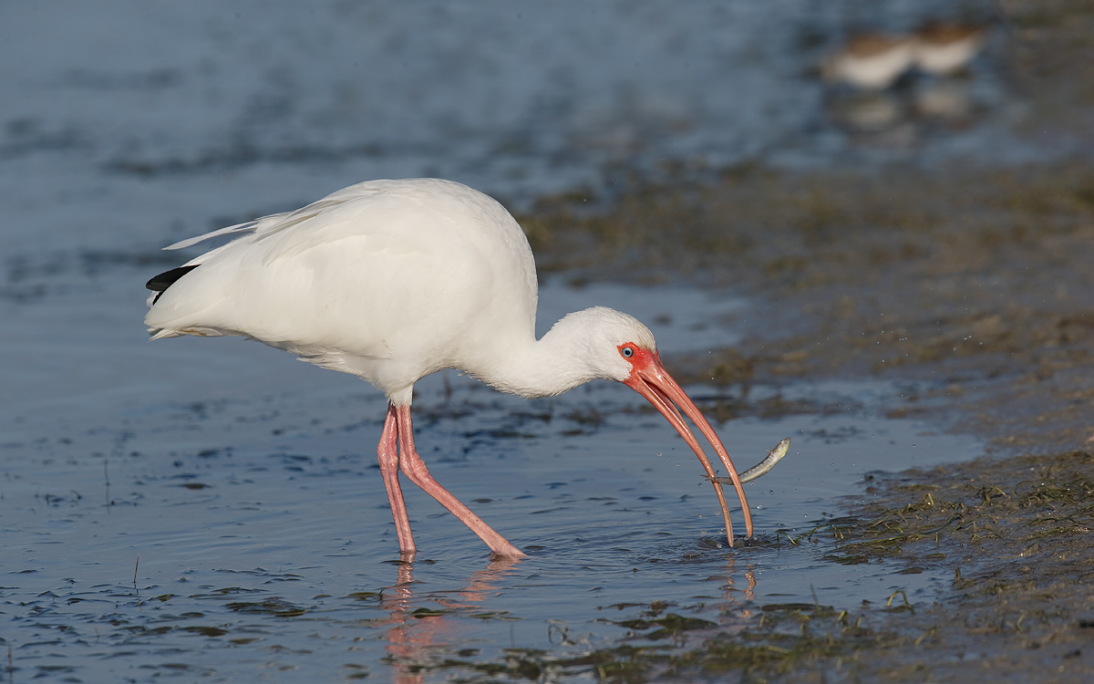 white-ibis-with-fish-_y7o9100-litttle-estero-lagoon-fort-myers-beach-fl