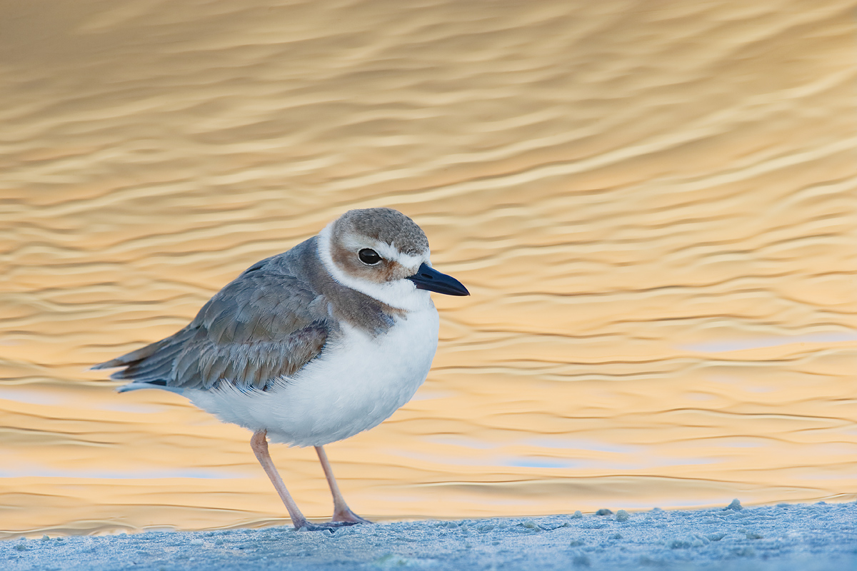 wilsons-plover-in-condo-reflection-_y7o9762-litttle-estero-lagoon-fort-myers-beach-fl