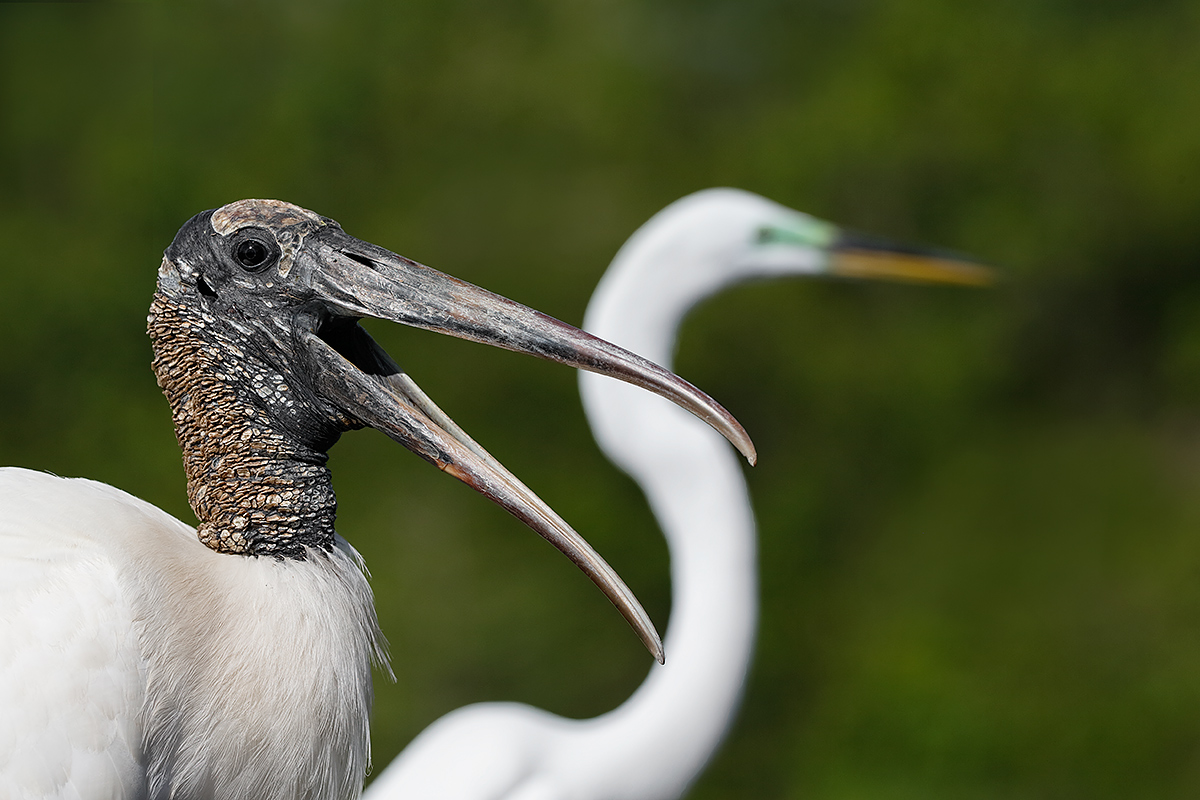 wood-stork-and-great-egret-juxtaposed-heads-_y5o0468-gatorland-kissimmee-fl