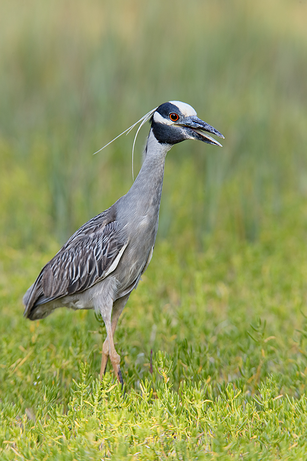 yellow-crowned-night-heron-gular-panting-_y7o0731-fort-desoto-park-st-petersburg-fl