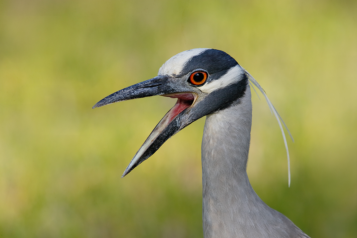 yellow-crowned-night-heron-yawning-_y7o0797-fort-desoto-park-st-petersburg-fl