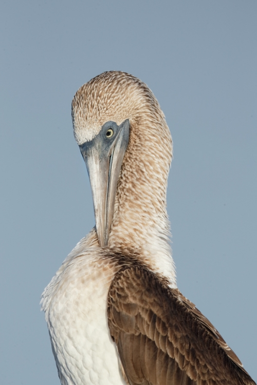 blue-footed-booby-preening-neck-_q8r0411-puntamangle-fernandina-galapagos