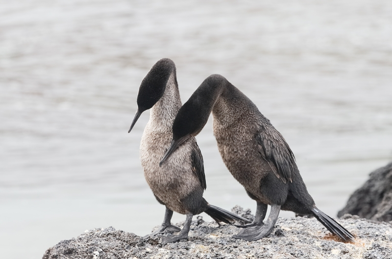 flightless-cormorants-courting-_q8r9666-pnta-albemarle-isabela-galapagos