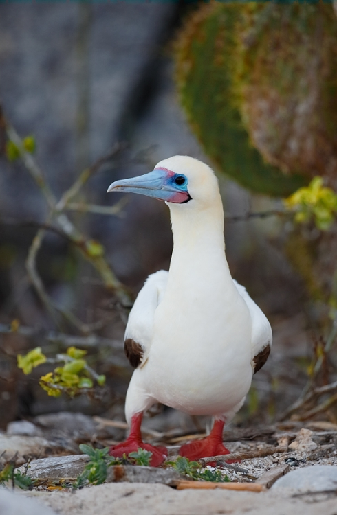 red-footed-booby-white-morph-near-cactus-_q8r8106-darwin-bay-tower-island-galapagos
