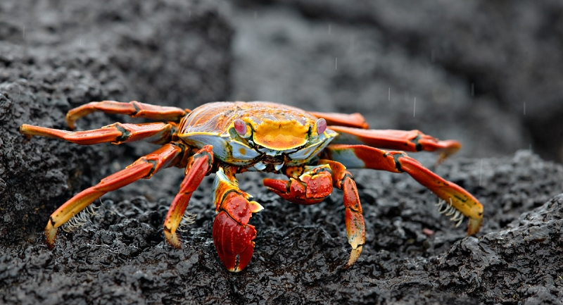 sally-lightfoot-crab-on-lava-rock-_q8r9828-pnta-albemarle-isabela-galapagos