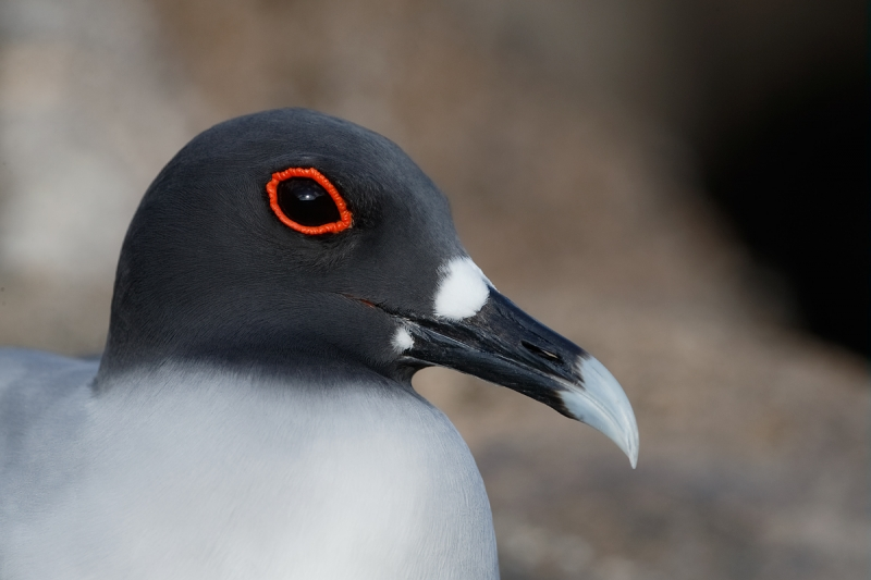 swallow-tailed-gull-head-portrait-_q8r8598-darwin-bay-tower-island-galapagos