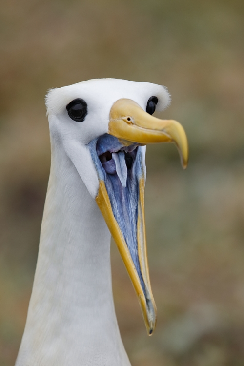 waved-albatross-bill-clacking-display-_a1c0543-punta-suarez-hood-island-galapagos