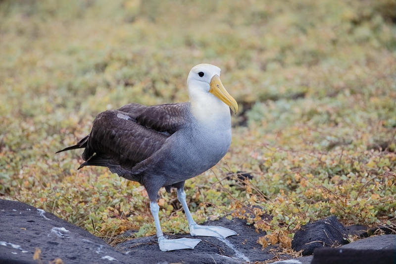 waved-albatross-standing-on-rock-_q8r1638-punta-suarez-hood-island-galapagos