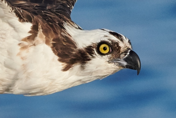 100-pct-head-crop-Osprey-with-half-eaten-fish-_BUP2078-Indian-Lake-Estates-FL