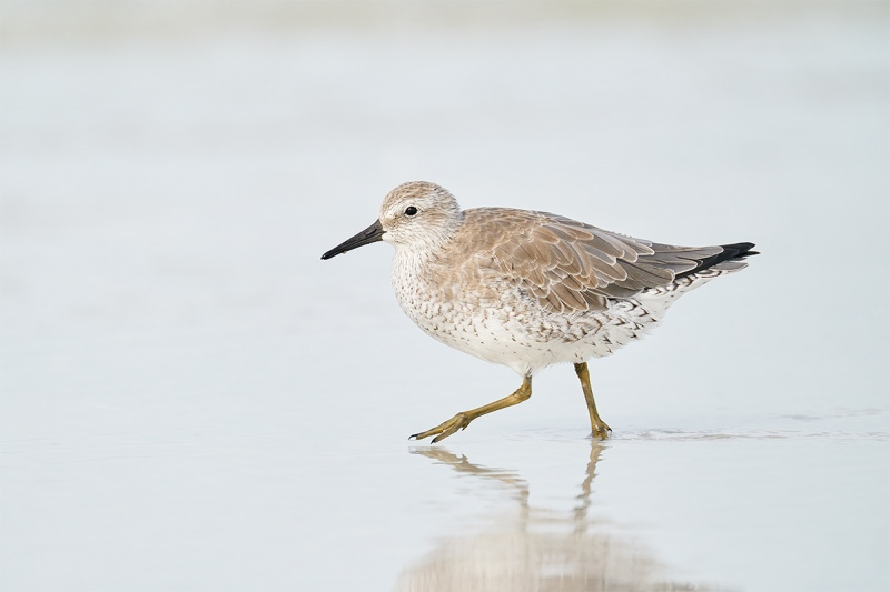 1_Red-Knot-striding-with-raised-foot-_A9B7286-Fort-DeSoto-Park-FL-1