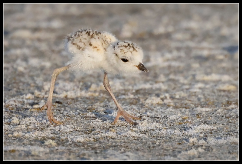 1_lou-snowy-plover-chick-image005