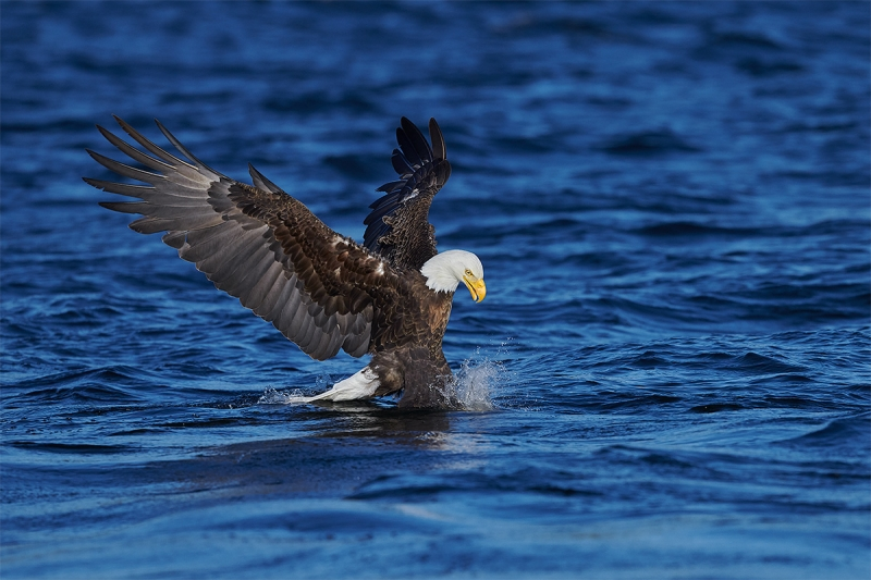 2_Bald-Eagle-striking-fish-_BUP0761-nr-Dryden-Ontario-CA-1