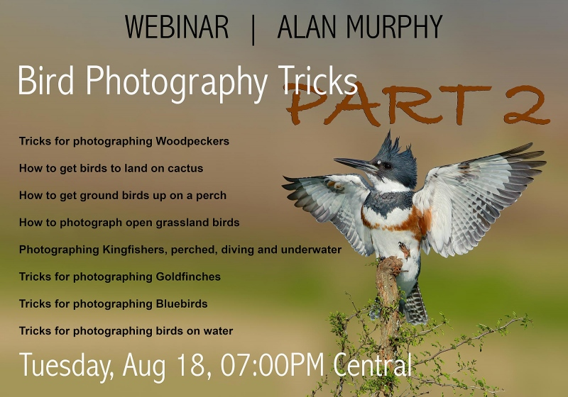 AM-webinar-Belted-kingfisher-56-copyc